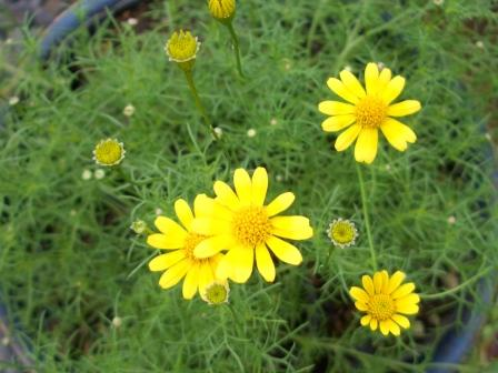 0709largelingdaisy